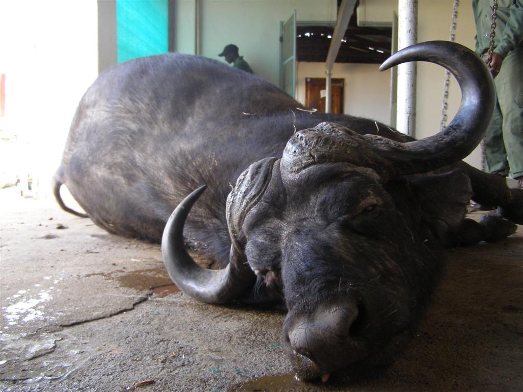 ellison-buffalo-1-large